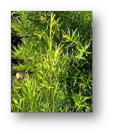 tea-tree-oil-scabies